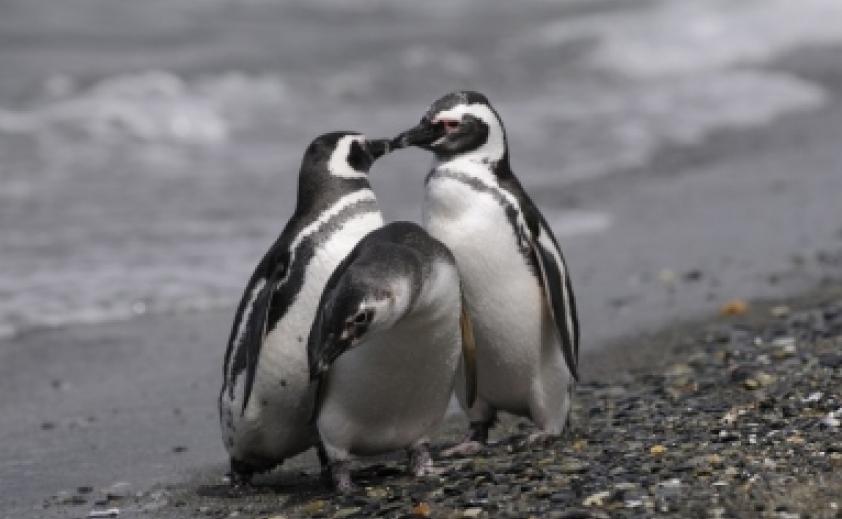 Pinguineira